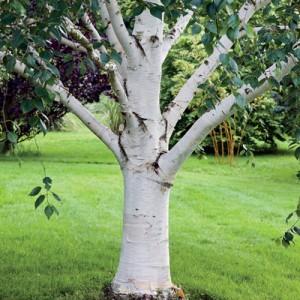 white birch paper