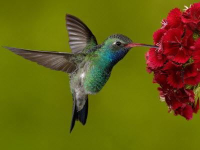 Flower Hummingbirds Attracted Hummingbird Attracting Plants