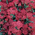 Achillea Summer Wine