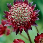 Astrantia Moulin Rouge