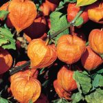 Chinese Lantern Strawberry Ground Cherry
