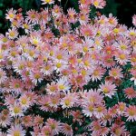 Chrysanthemum Sheffield Pink