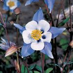 Columbine Blue Star