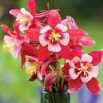 Columbine Origami Red & White
