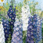Delphinium Fantasia Mixed Colors