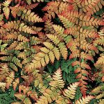 Fern Autumn