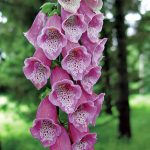 Foxglove Rose Shades