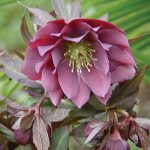 Hellebore Kingston Cardinal