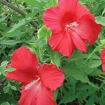 Hibiscus Lord Baltimore