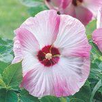 Hibiscus Pink Swirl