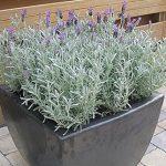 Lavender Stoechas Silver Anoek