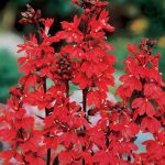 Lobelia Cardinal Flower