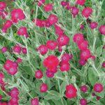 Lychnis Abbotswood Rose Hybrid