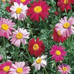 Painted Daisy Mixed Colors