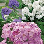 Phlox Collection Ultimate