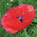Poppy Brilliant Red (Oriental)