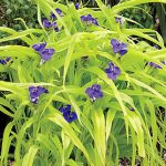 Tradescantia Blue & Gold