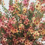Verbascum Southern Charm Hybrid