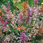Agastache aurantiaca Fragrant Delight Mix