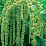 Amaranthus Love Lies Bleeding (Green)
