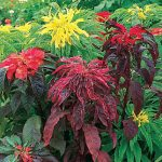 Amaranthus Summer Poinsettia Mix