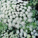 Ammi Majus Queen Anne's Lace