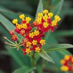 Asclepias Red Butterfly