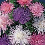Aster Fireworks Mixed Colors