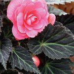 Begonia Dark Mocca Pink