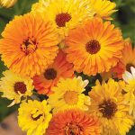 Calendula Pacific Beauty Mix Organic