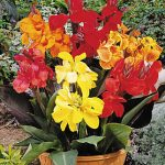 Canna Dwarf Mixture