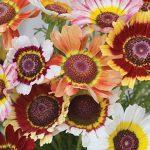Chrysanthemum Tricolor Daisy