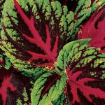 Coleus Picture Perfect Red