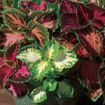 Coleus Rainbow Mixed Colors