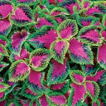 Coleus Watermelon