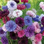 Cornflower Tall Double Mixed Colors