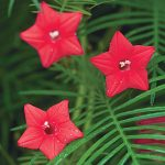 Cypress Vine Red