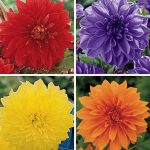 Dahlia Dinnerplate Collection I