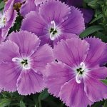 Dianthus Diana's Blueberry Hybrid