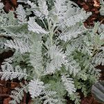 Dusty Miller Silver Lace