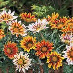 Gazania Tiger Stripe Mix