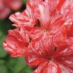 Geranium Peppermint Twist