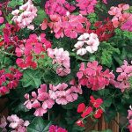 Geranium Summer Showers Mix