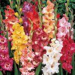 Gladiolus Fordhook Ruffled Pastel Mix