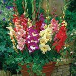 Gladiolus Glamini Mix