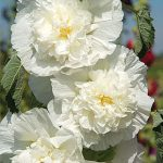 Hollyhock Rosea The Bride