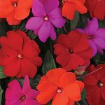 Impatiens (New Guinea) Hot Divine Mix Hybrid