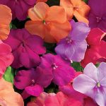 Impatiens Candy Box