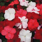 Impatiens Vanilla And Berries Mix