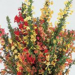 Ipomopsis Hummingbird Mix